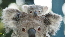 Billabong Koala and Wildlife Park - Accommodation Bookings