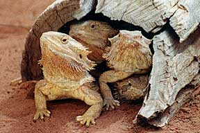 Alice Springs Reptile Centre - Accommodation Bookings
