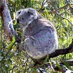 Koala Conservation Centre - Accommodation Bookings