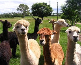 Banyandah Alpacas - Accommodation Bookings