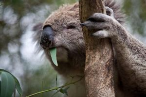 Phillip Island Koala Conservation Centre Entry ticket - Accommodation Bookings