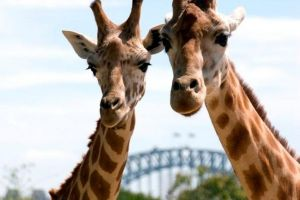 Sydney Harbour Ferry with Taronga Zoo Entry Ticket - Accommodation Bookings