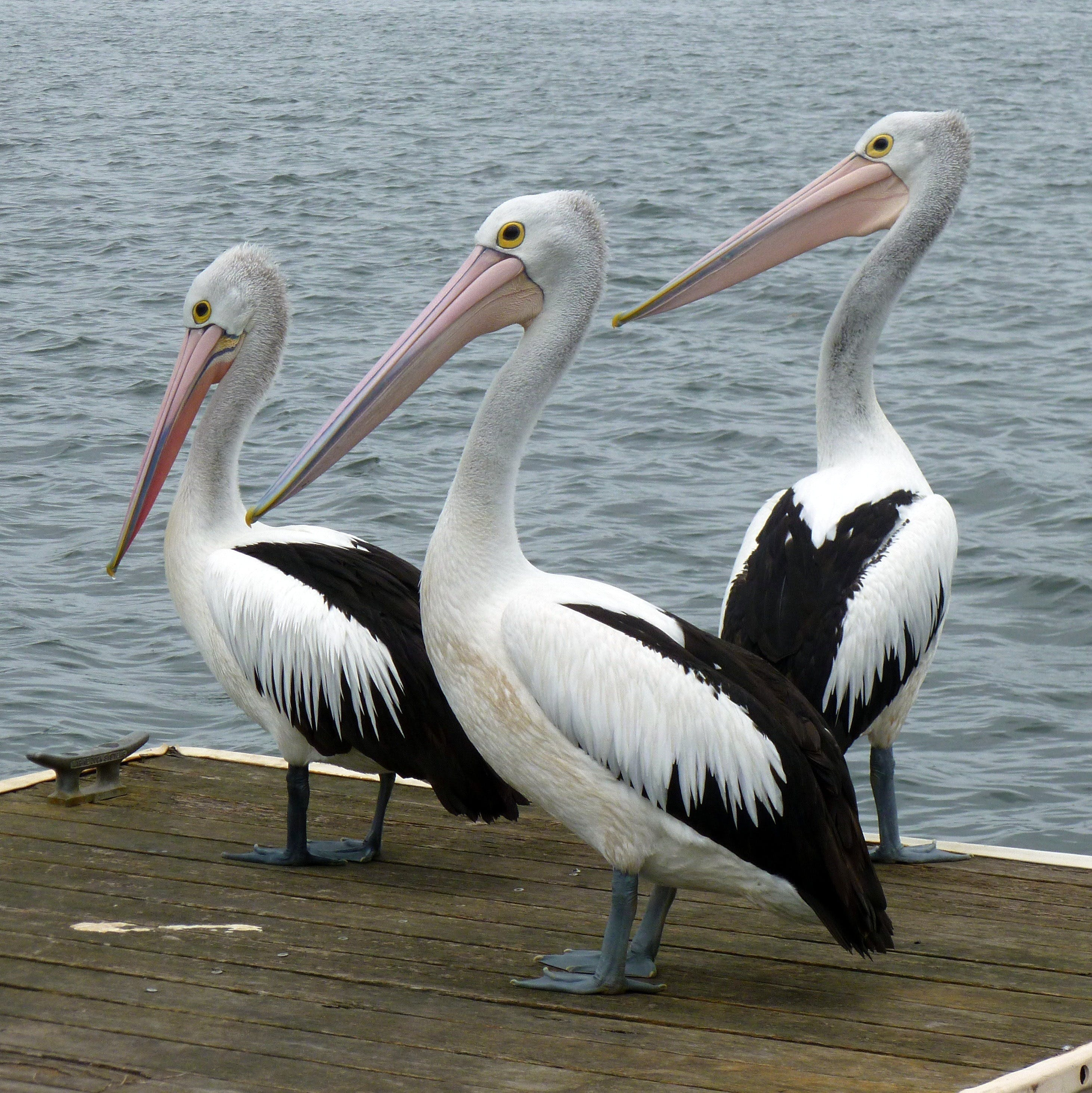Pelican Feeding - Accommodation Bookings